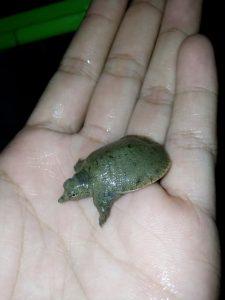 Baby Bulus Pelodiscus Ukuran 3-5 cm, Murah Saja Ya!