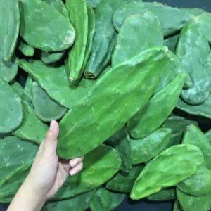 Kaktus Centong Lokal/Kecil untuk Makanan Kura-kura Darat